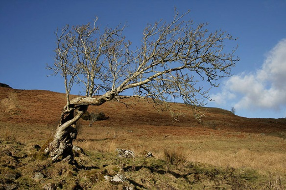 A_twisted_tree_on_Craigneston_Hill_-_geograph.org.uk_-_1705700