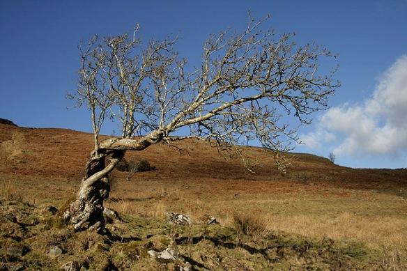 A_twisted_tree_on_Craigneston_Hill_-_geograph.org.uk_-_1705700